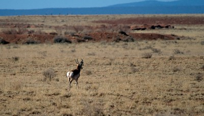 Sonoran pronghorn in Arizona