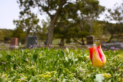Tulips Among the Dead