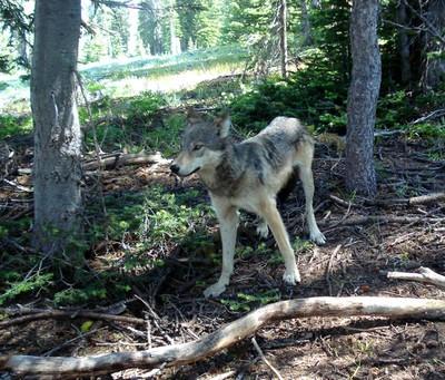 Twisp wolf