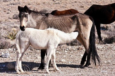 Wild mare with foal in Nevada