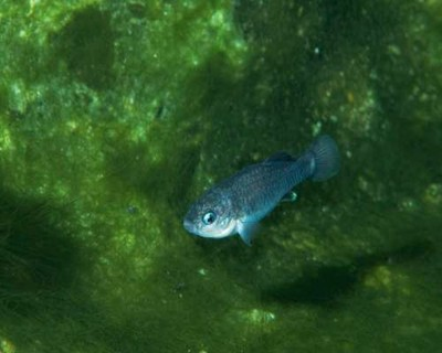 Endangered pupfish