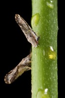 Psyllid on orange stem
