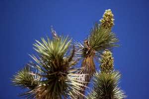 Joshua trees may be migrating north in response to climate change