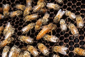 Killer bees could help solve honeybee colony collapse