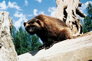 Fish and Wildlife declines to list wolverines as endangered