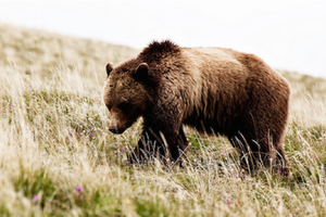 What diabetic grizzlies can tell us about human obesity