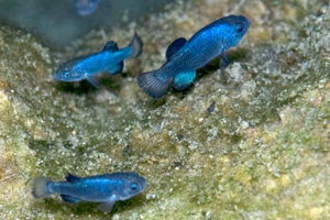 The mystery of Death Valley's missing pupfish