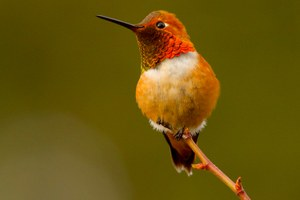 This hummingbird's survival hinges on precipitation, new study shows