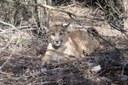 When a rare puma dies during a government shutdown, who do you call?