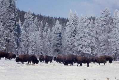 bison_nasa