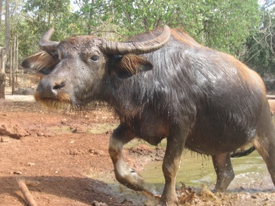 water buffalo in Thailand