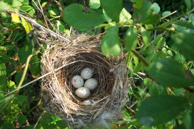 Willow flycatcher nest