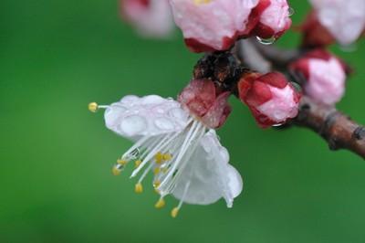 Aprium blossom in spring