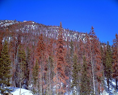 Beetle trees snowpack