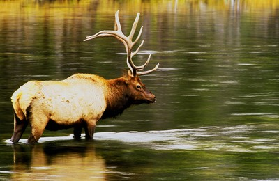 madison river bull elk