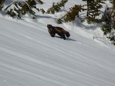 Wolverine F28, in Glacier National Park