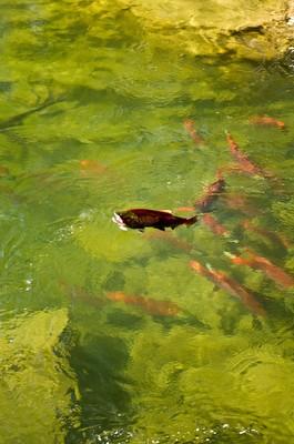 Canadian sockeye salmon