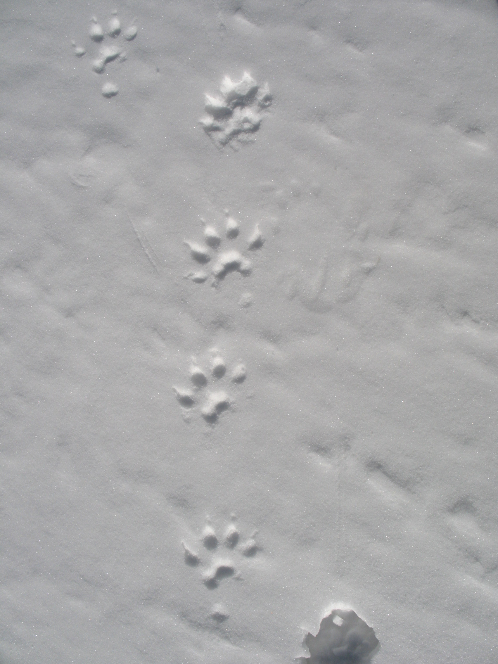 Tracks of a wolverine in snow