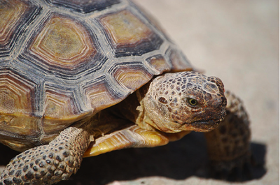Desert Tortoise Photo by Wyatt Myers