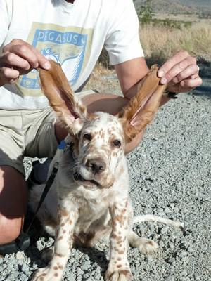 Beau ears
