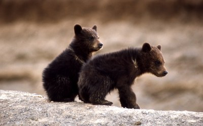 Grizzlybearcubs_NPS.jpg
