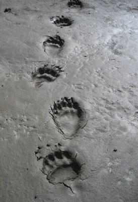 Grizzlytracks_NPS.jpg