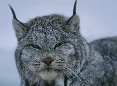 Lynx FWS