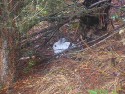 snowshoe hare, no snow