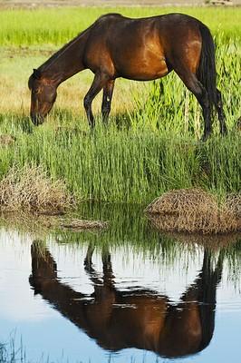 Wild mustang Nevada