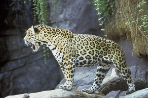 Jaguar versus the copper mine
