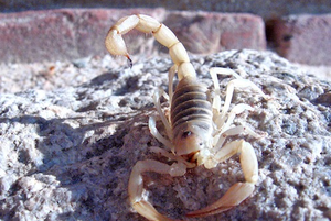 Rants from the Hill: Hunting for Scorpions