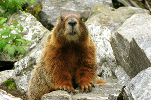 The meaning of marmot whistles