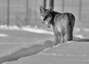 coyote-937008_640.jpg