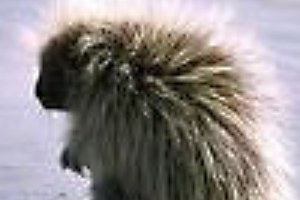 Not even the privileged can deter a porcupine