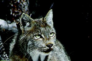 The return of Colorado's missing lynx