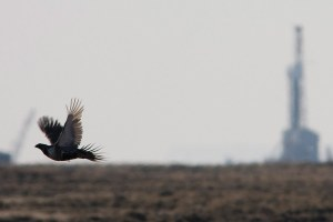 The messy mix of energy and sage grouse