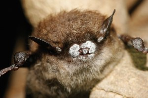 Bracing for white nose syndrome