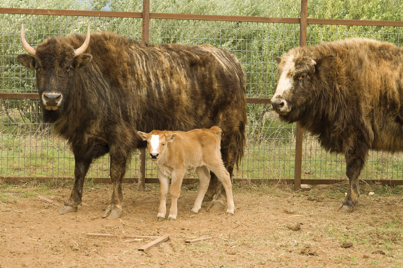 Beefalo, a heavily hybridized bison/cow bred for meat.