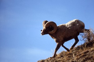 Forest Service tackles Idaho bighorn problem