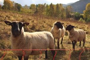 Lone shepherd on a distant promontory