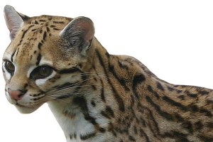 Ocelots in Arizona?