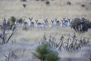 Sportsmen protest New Mexico antelope hunting system