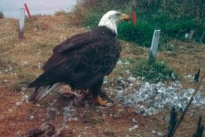 The bald eagle paradox