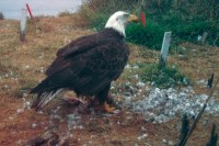 The bald eagle paradox