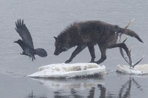 One Way to Save the Wolf? Hunt It.