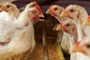 Small poultry farmers grapple with lack of slaughterhouses