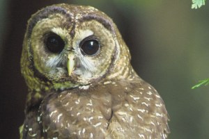 The latest: Northern spotted owl