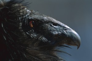 Encountering a California condor takes one writer back in time