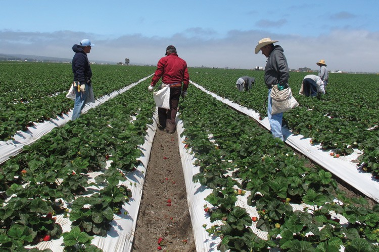 Farmworkers weed strawberries in a field near California's Central Coast. While methyl iodide dissipates before fruit is harvested for consumption, scientists worry exposure to the fumigant could harm the health of workers and residents nearby.