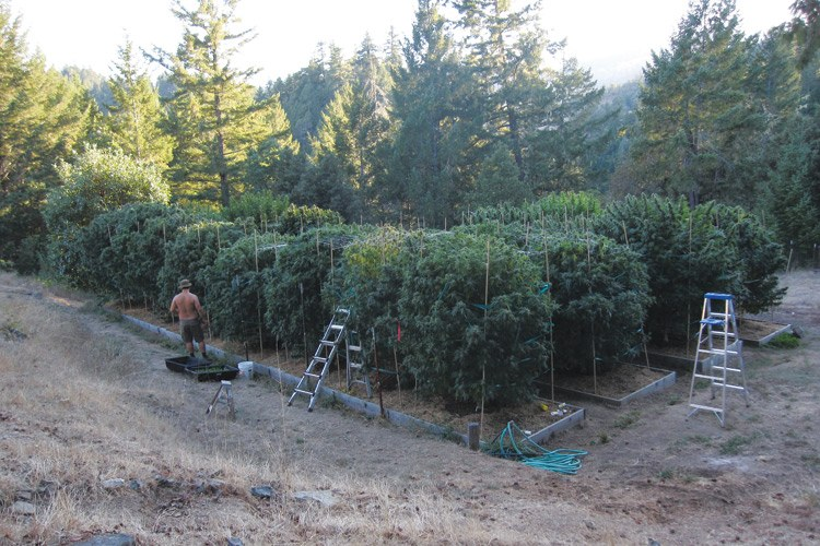 A grower tends his plants in Humboldt County in California's Emerald Triangle.